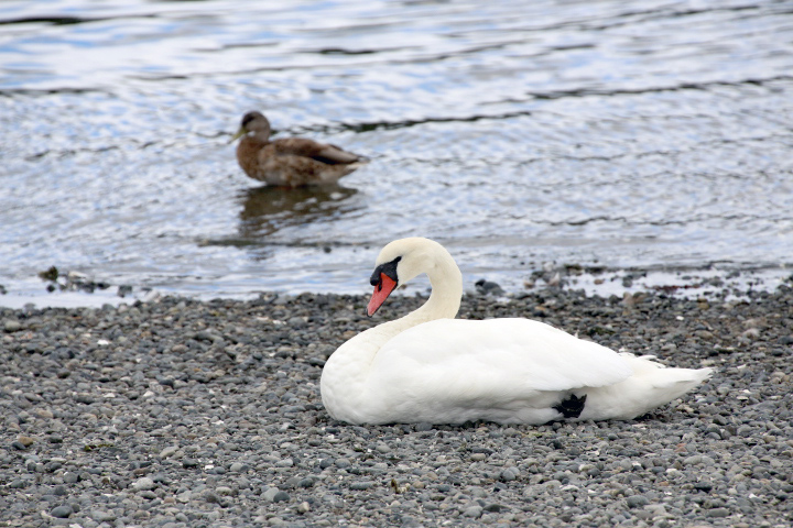 Esquimalt Lagoon: Bird Sanctuary